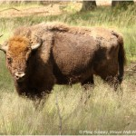 Wisent 3-150x150 in